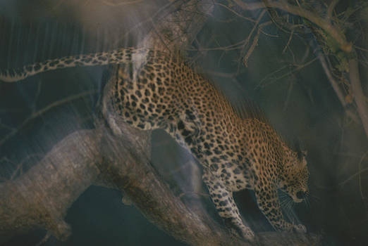 A Leopard Climbing Down A Tree Trunk by Chris Johns