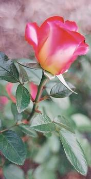 Lynnette Johns - A Perfect Rose