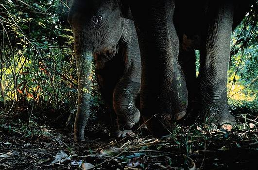 A Young Indian Elephant Protected by Michael Nichols