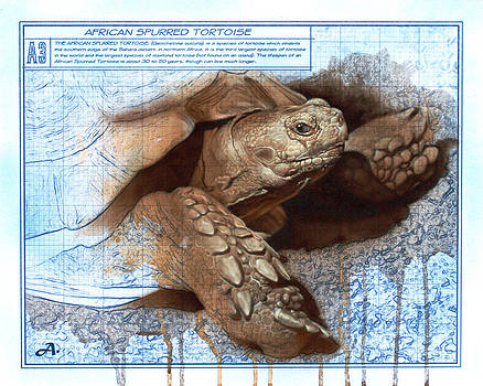 African Spurred Tortoise by Peter Ambush