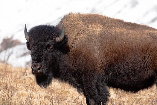 Alaska Bison by Sam Amato