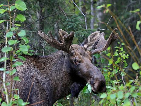 Alaskan Bull Moose In Velvet by Sam Amato