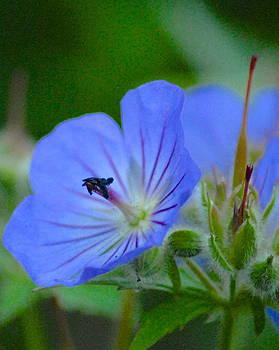 Alaskan Wild Geranium by Claire Pridgeon
