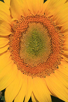 All Yellow Sunflower by Pauline Cutler