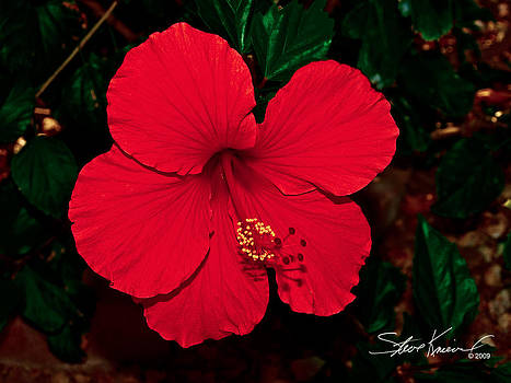 Steve Knievel - Almost Perfect Hibiscus