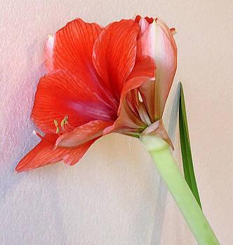 Amaryllis by Gene Garrison