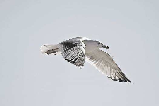 Amazing Seagull Flying by Jeramie Curtice