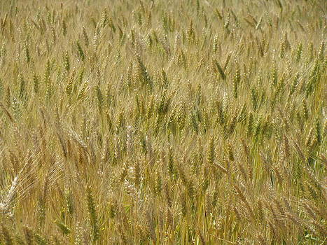 Amber Waves of Grain by Monica Cranswick