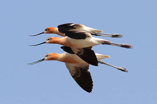 American Avocets by Phil Lanoue