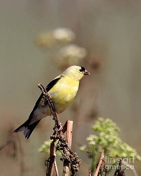 Wingsdomain Art and Photography - American Goldfinch Perched