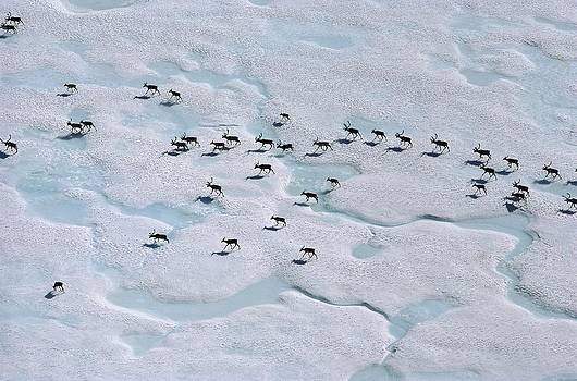 An Aerial View Of A Herd Of Caribou by George F. Mobley