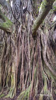 Ancient Banyon Tree by Dustin K Ryan