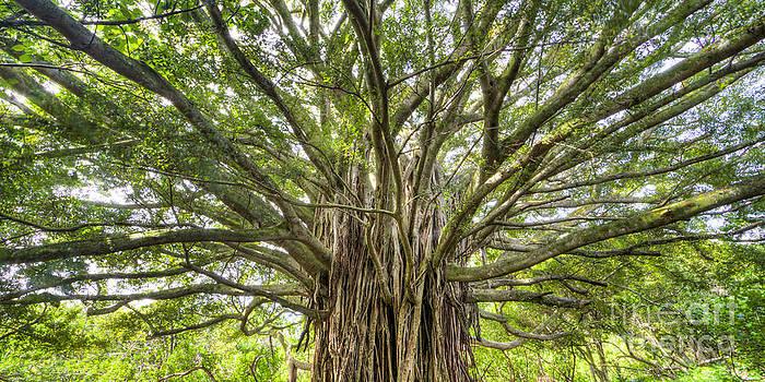 Ancient Maui Banyan Tree 2 by Dustin K Ryan