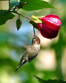 Anna's Hummingbird and Red Flowering Maple by Pamela Rose Hawken