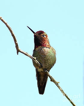 Wingsdomain Art and Photography - Annas Hummingbird