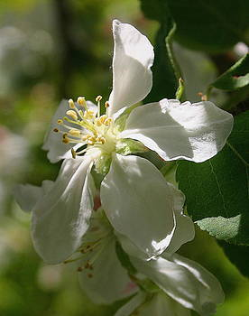 Apple Blossom 1 by Laurie Penrod