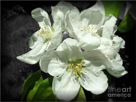 Apple Blossom-2 by Ashley Vipond