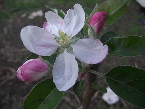 Apple Blossom by Rani De Leeuw