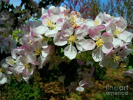 Apple Flowers by Alisa Tek