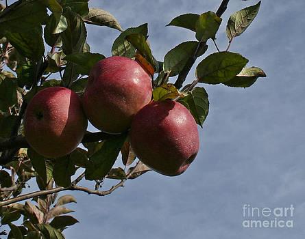 Barbara McMahon - Apple Harvest