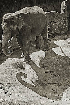 Asian Elephant by Robert Meanor
