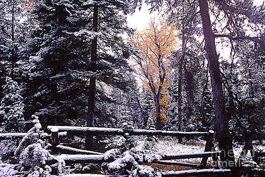 Aspen in snow by Barry Shaffer