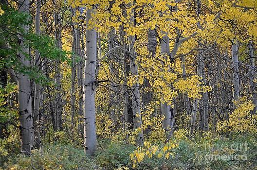 Autumn Aspens by Diana Nigon