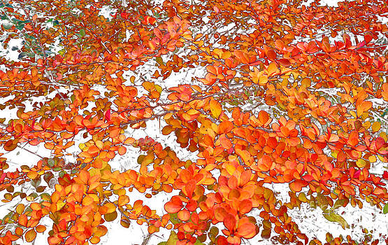 Autumn Barberry by Kathie McCurdy