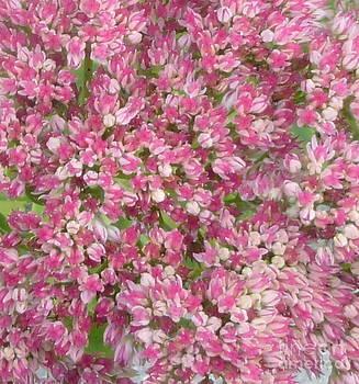 Sue Wild Rose - Autumn Joy Sedum
