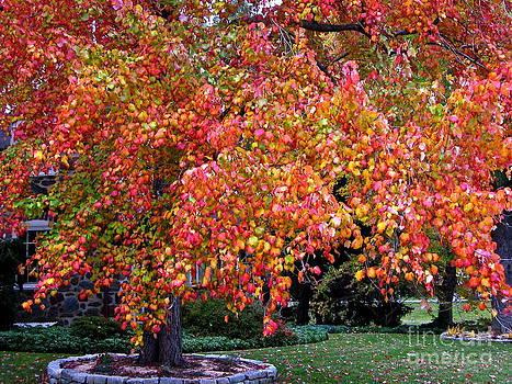 Byron Varvarigos - Autumn Maple