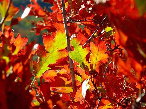 FeVa  Fotos - Autumn Oak Leaves