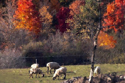Autumn sheep by Cheryl Cencich