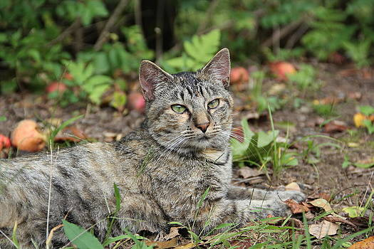 Autumn Tabby Cat #2 by Donna Bosela