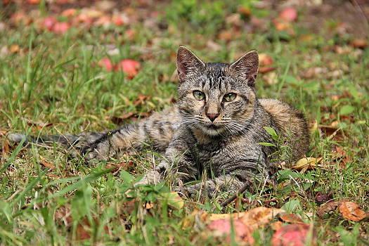 Autumn Tabby Cat by Donna Bosela