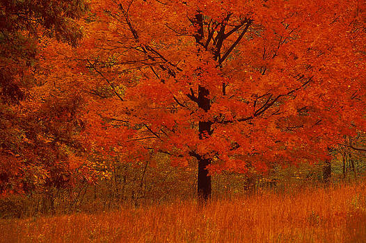 Autumn Tree With Red Foliage by Comstock