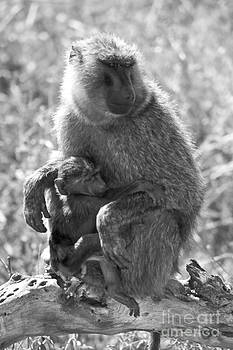 Darcy Michaelchuk - Baby Baboon Clings to Mom
