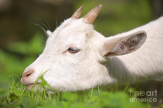 Angela Doelling AD DESIGN Photo and PhotoArt - Baby goat
