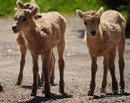 Baby Mountain Goats by Diana Nigon
