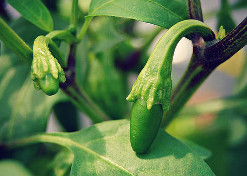 Baby Peppers by Amy Schauland