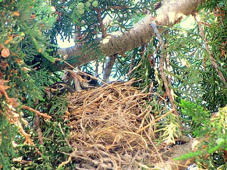Baby Robin's Nest by Amy Bradley
