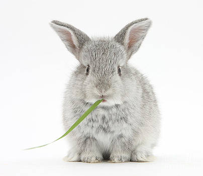 Mark Taylor - Baby Silver Rabbit Eating Grass