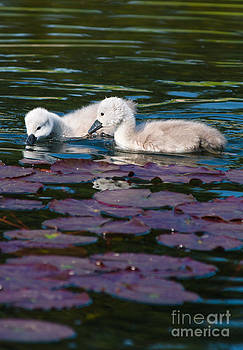 Baby swans on Lily pods by Andrew  Michael
