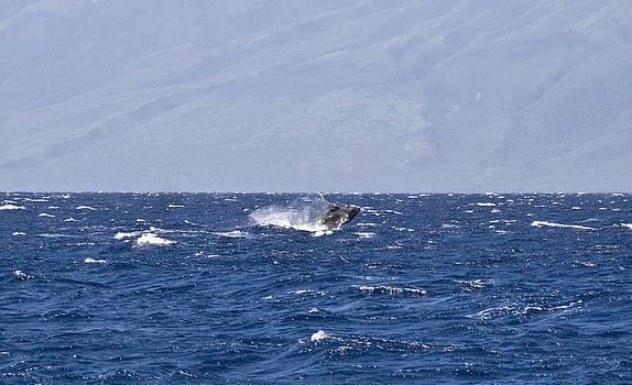 Baby Whale Breach by Chris Ann Wiggins