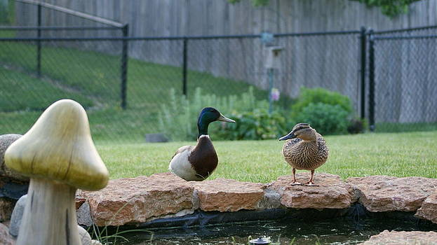 Backyard Mallards by Tony Hammer