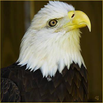 Bald Eagle Close-up by Barbara Middleton