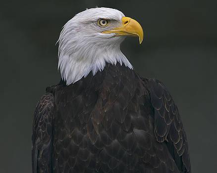 Bald eagle closeup by Sasse Photo
