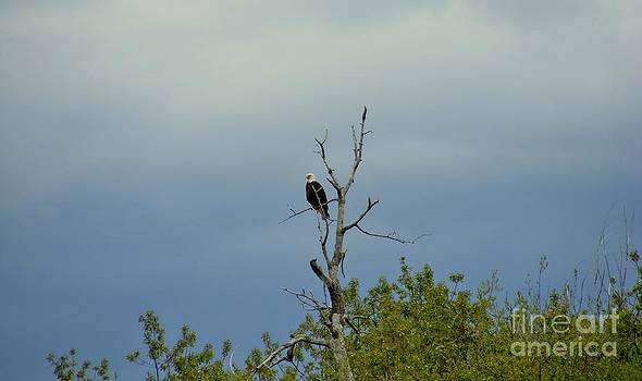 Bald Eagle Fishing by Woody Wilson