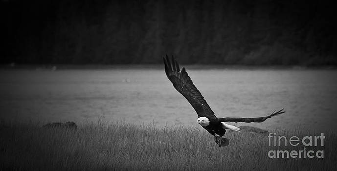 Darcy Michaelchuk - Bald Eagle Take Off Series 5 of 8