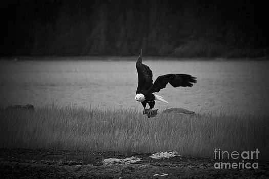 Darcy Michaelchuk - Bald Eagle Take Off Series 6 of 8