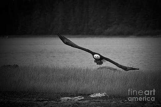 Darcy Michaelchuk - Bald Eagle Take Off Series 8 of 8